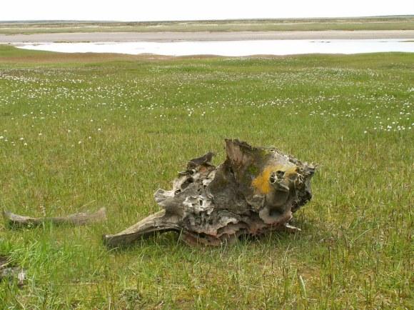 Mammoth Skull by Nikita Bragin New Siberian Islands, Russia http://www.panoramio.com/user/958481